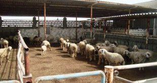 طرح توجیهی دامپروری 100 راسی گوسفند
